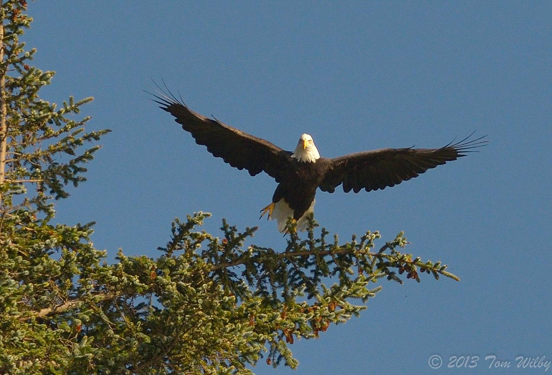 My first eagle photo!!