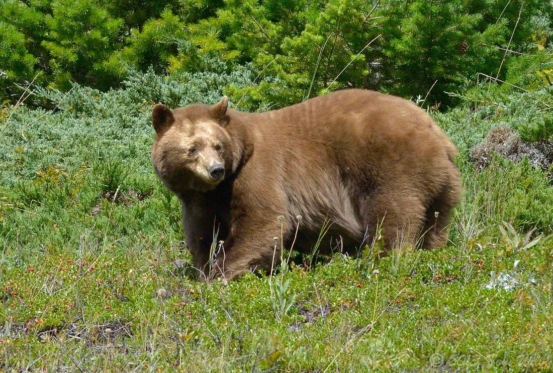Black Bears were everywhere!