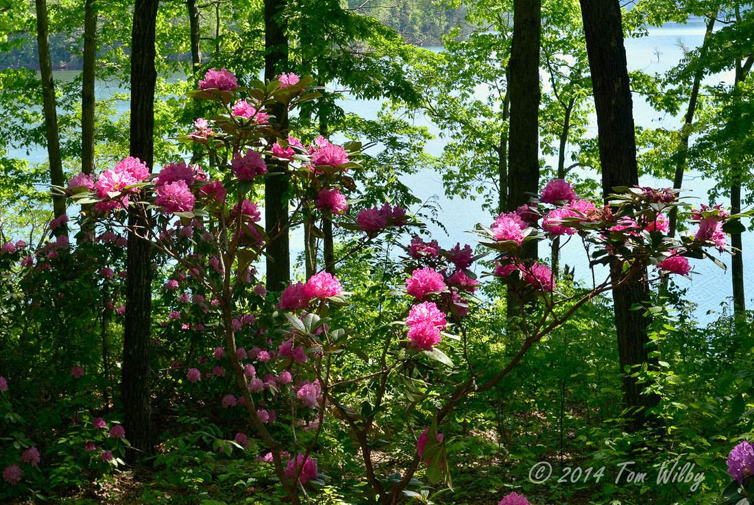 Rhododendrom Memorial Garden _1494