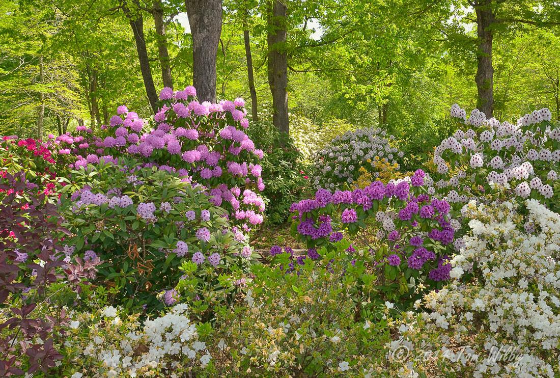 Rhododendrom Memorial Garden _1513