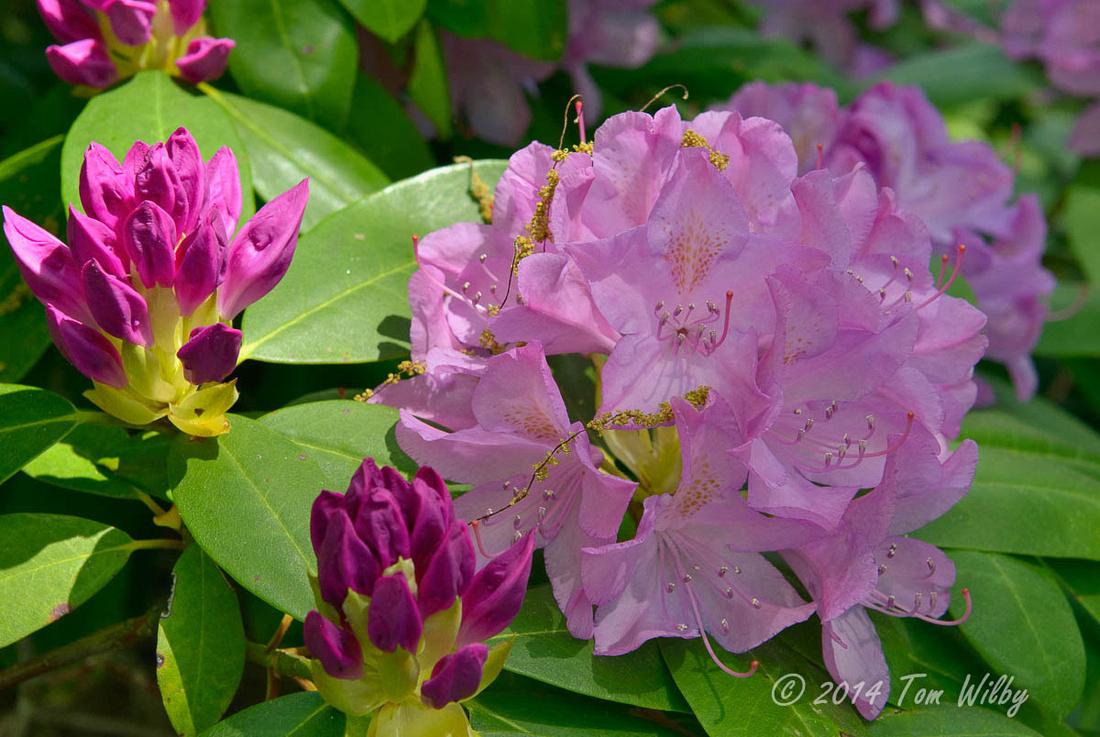 Rhododendrom Memorial Garden _1510