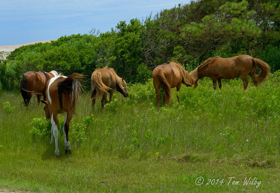 Assateaque Nat'l_2516_